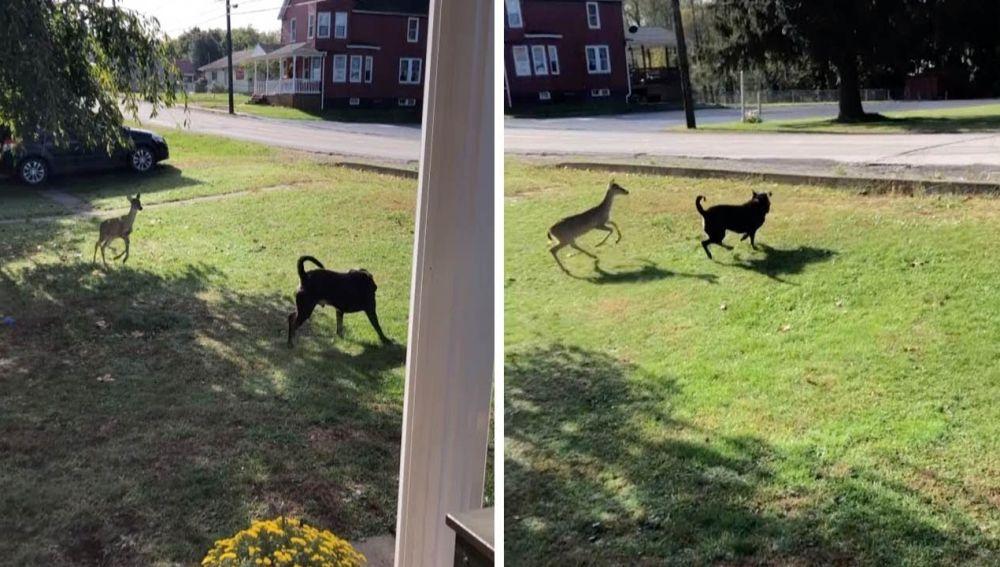 Perro jugando con un ciervo
