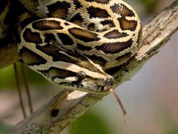 Una serpiente pitón birmana