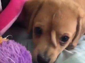 Un perro con una segunda cola entre los dos ojos