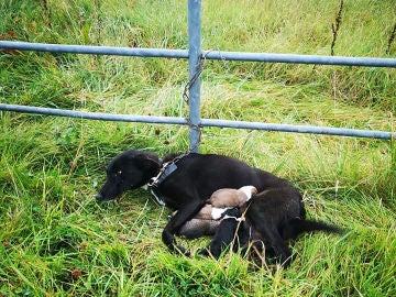 Encadenan a un perro que amamanta a sus cachorros