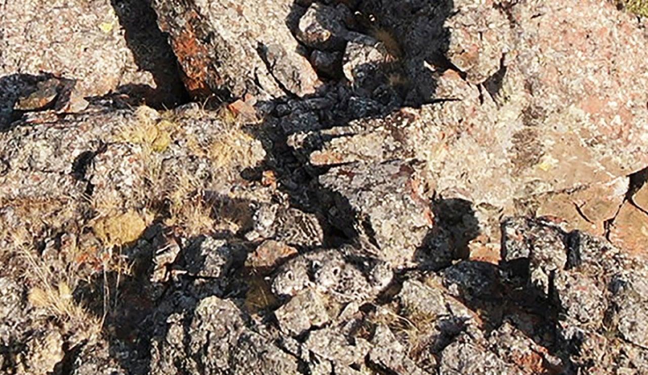 Los cachorros de leopardo camuflados