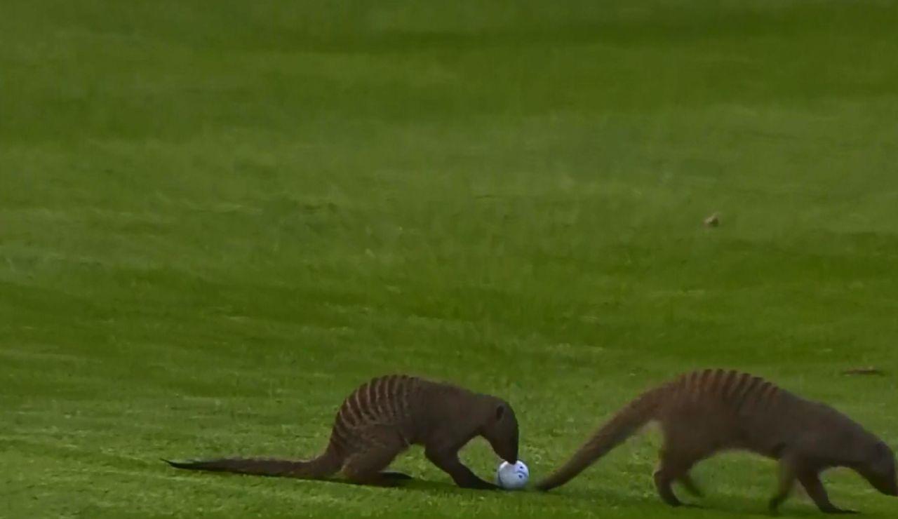 Dos mangostas invaden un campo de golf en pleno torneo