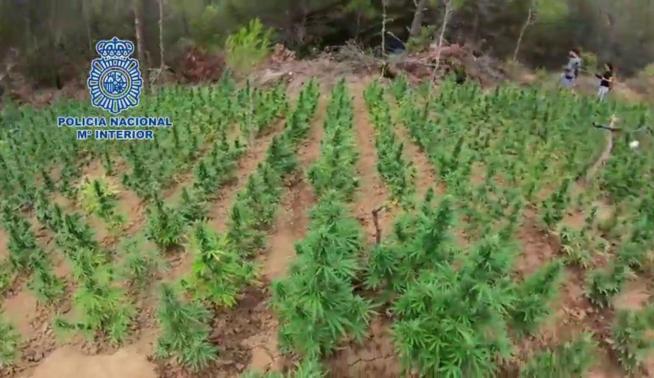 Desmantelan una plantación de marihuana en Aragón, la más grande hasta la fecha