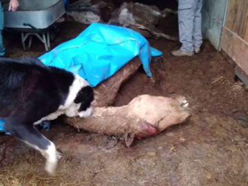 El establo de los horrores en A Coruña: siete caballos muertos y 22 desnutridos