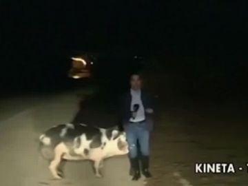 Un reportero es perseguido por un cerdo en mitad de un directo