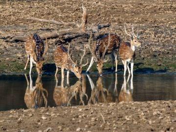 Ciervo en un río de la India (archivo)