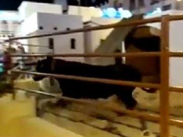 Vaca de Lucena