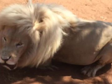 León en un zoo de Sudáfrica