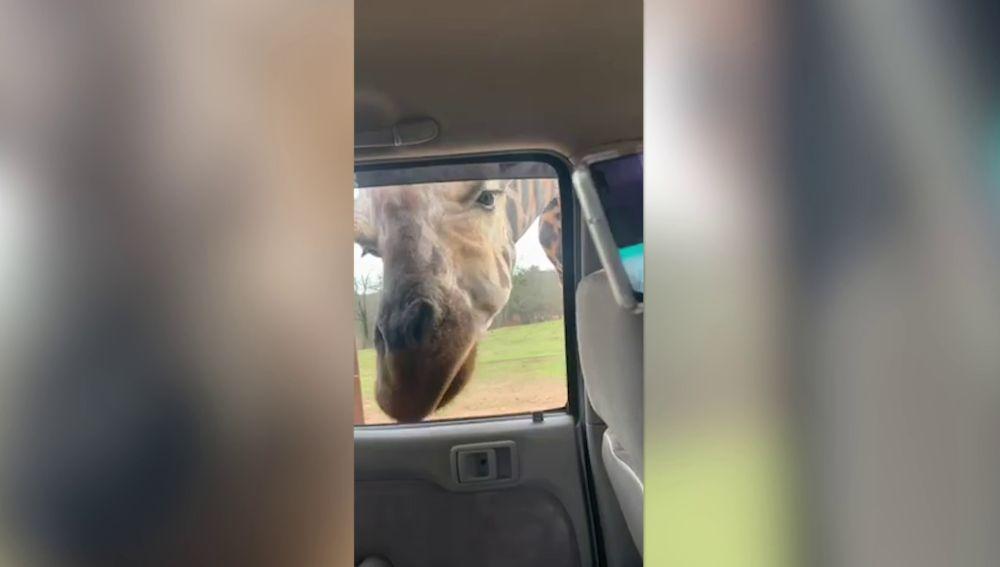 Jirafa metiendo la cabeza en un coche