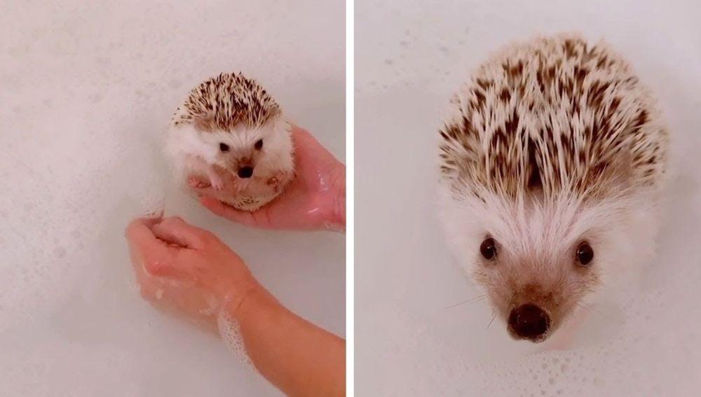 Erizo dándose un baño