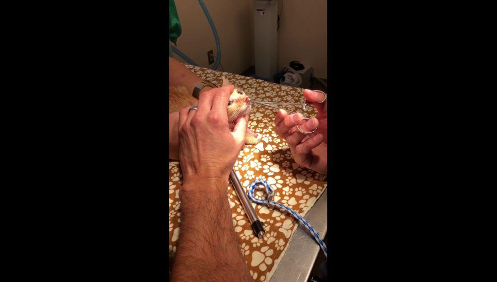Extraen un gran larva viva de la nariz de un gato recién nacido