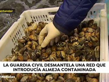 La Guardia Civil desmantela una red internacional que introducía almeja japónica contaminada en España.