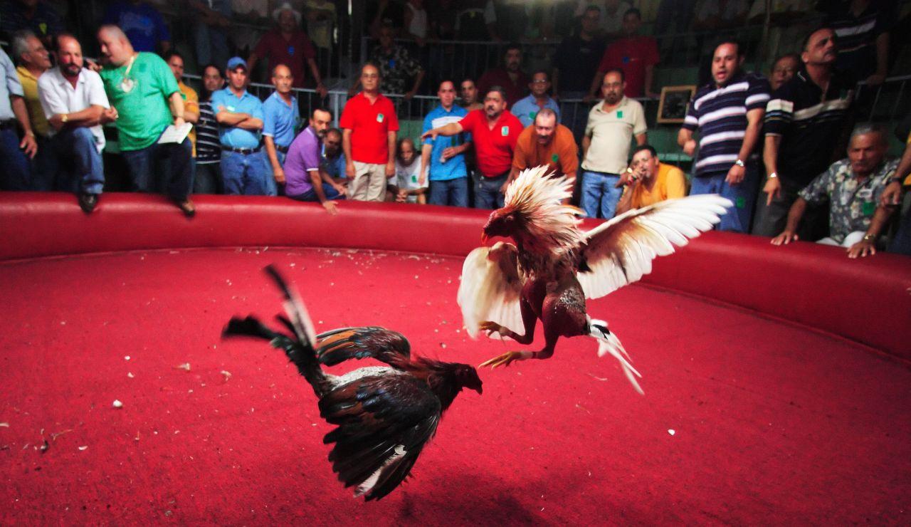 Una pelea de gallos en Puerto Rico