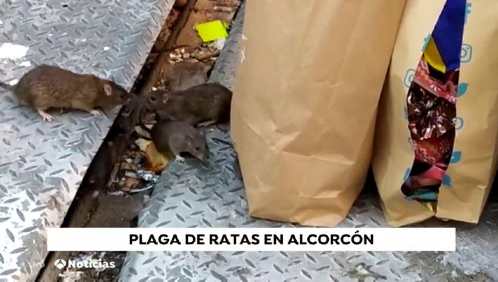 Plaga de ratas en una isla ecológica de Alcorcón