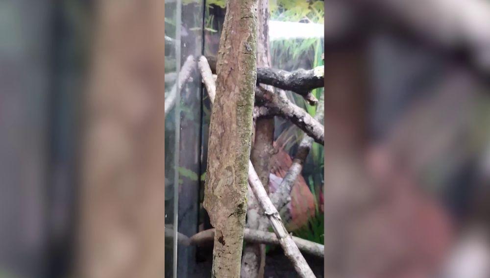 Gecko camuflado