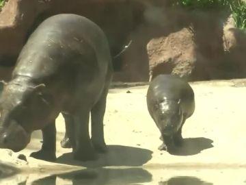 """""""Bernardina"""", uno de los 2.500 ejemplares de hipopótamo pigmeo"""