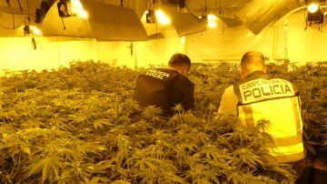 Agentes de la Policía Local y Policía Nacional en la plantación de marihuana desmantelada en Elche.