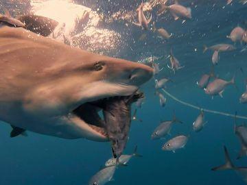 Tiburones alimentándose