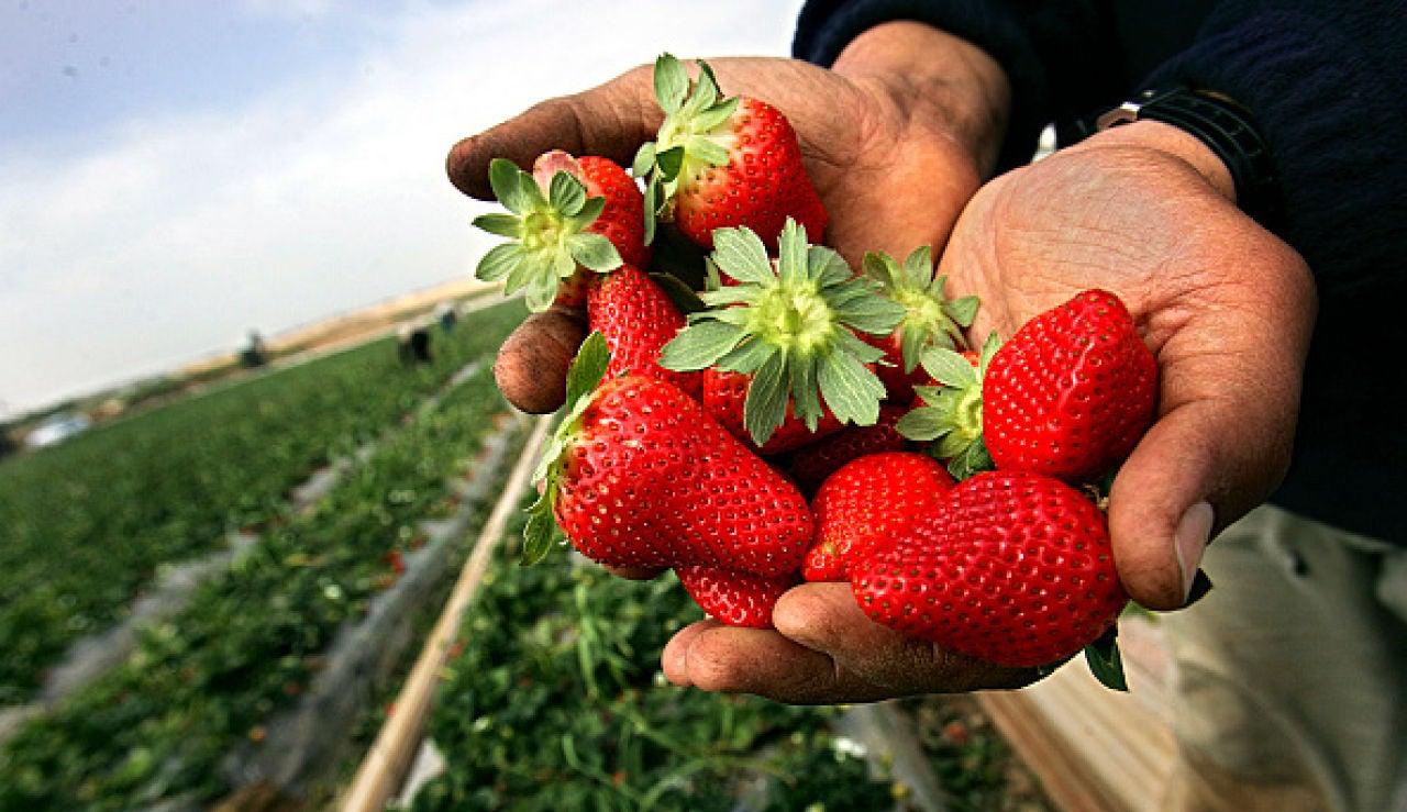 Recogida de fresas