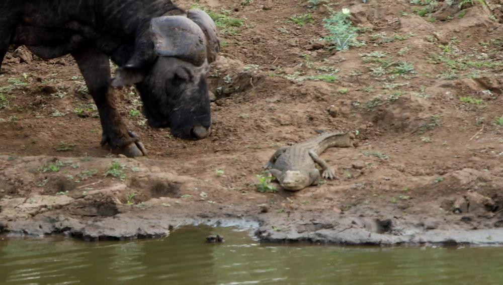 Búfalo se enfrenta a cocodrilo