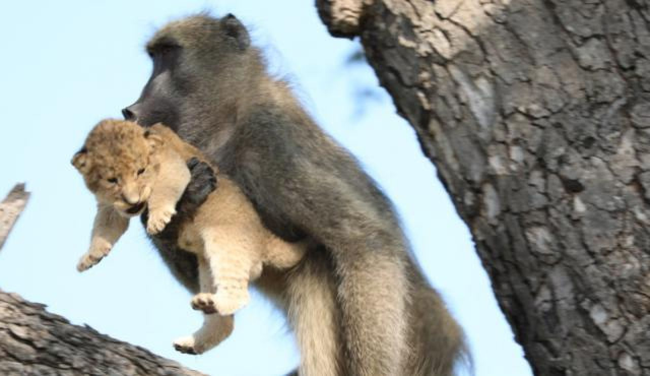 Babuino rapta a un cachorro de León