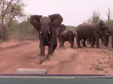 Elefante carga contra una camioneta