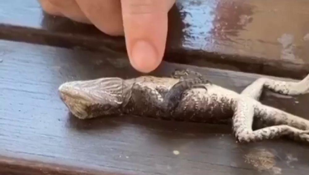Un bombero australiano salva la vida a un lagarto realizándole la reanimación cardiopulmonar