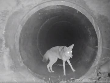 Un coyote y un tejón captados juntos en California