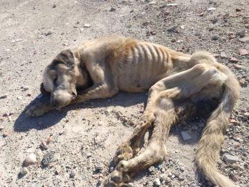 Ragnar lucha por salvar su vida: este mastín fue encontrado con graves síntomas de desnutrición