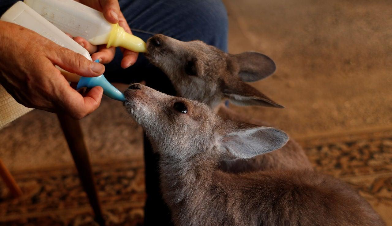 Una pareja acoge a canguros huérfanos en Australia