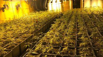 Detenidas tres personas tras desmantelar una plantación de marihuana en Esplugues de Llobregat