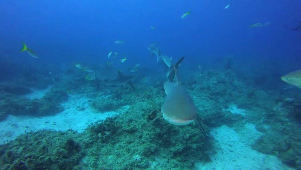 Un tiburón atacando