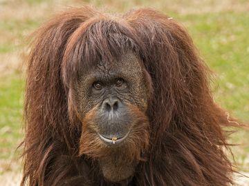 Foto de Archivo de un orangután