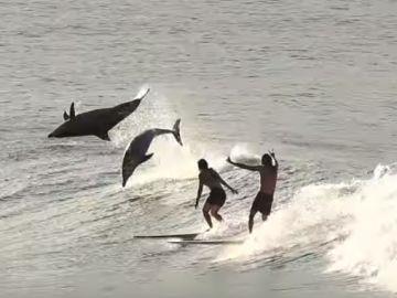 Surfistas junto a delfines