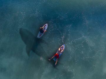 Surfistas con un tiburón bajo sus pies