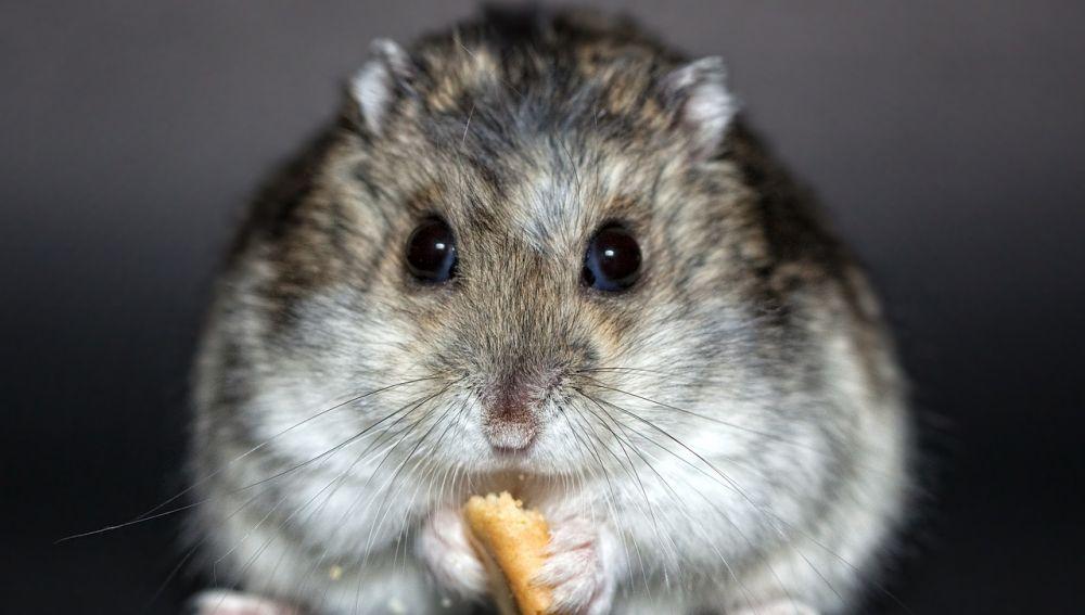 Un hámster comiendo un trozo de pan