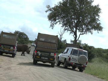 Rinoceronte cargando contra un coche