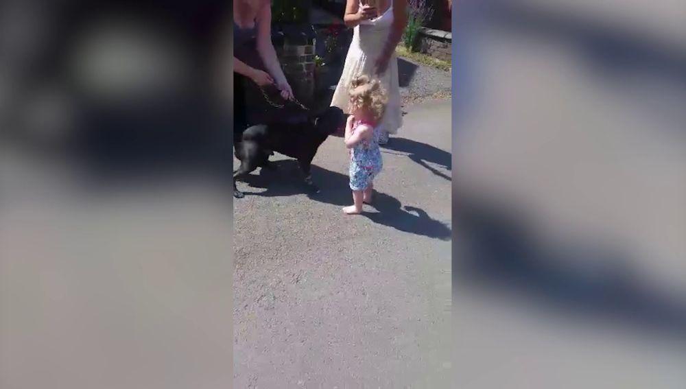 Pitbull jugando con niña