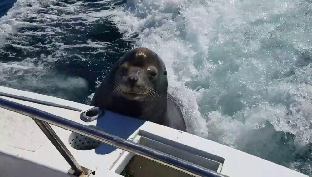 Un león marino se sube un barco