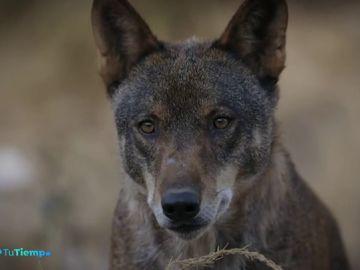 El lobo ibérico, embajador de la fauna patria