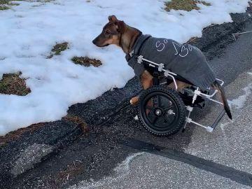 El perro Harry paseando con su silla de ruedas