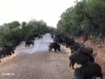 Tensión entre cazadores y animalistas por la superpoblación de jabalíes en Valencia