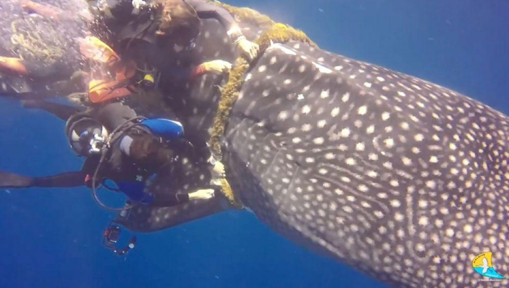 Rescatan a un tiburón ballena