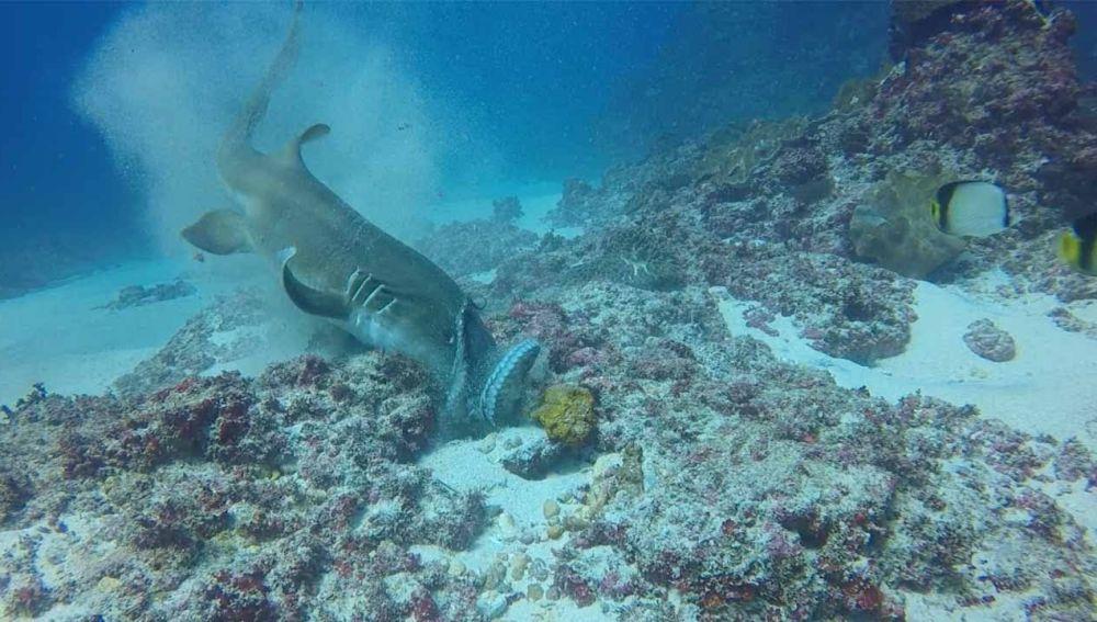 Tiburón contra pulpo
