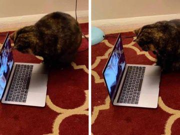 Un gato habla con su dueña por Skype