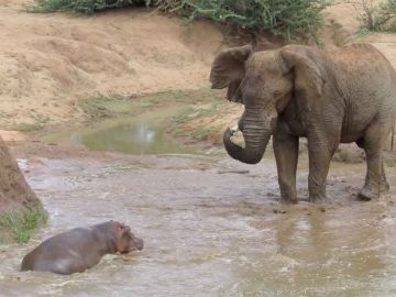 Elefante se enfrenta a hipopótamo