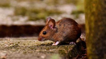 Imágen de archivo de un ratón de campo.