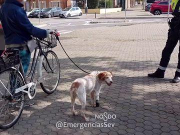Una mujer denunciada en Sevilla por circular en bicicleta con su perro cojo atado al manillar en pleno estado de alarma