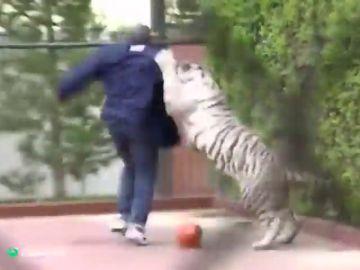 """Así """"le arrancó el brazo a una mujer"""" el tigre de Mike Tyson"""