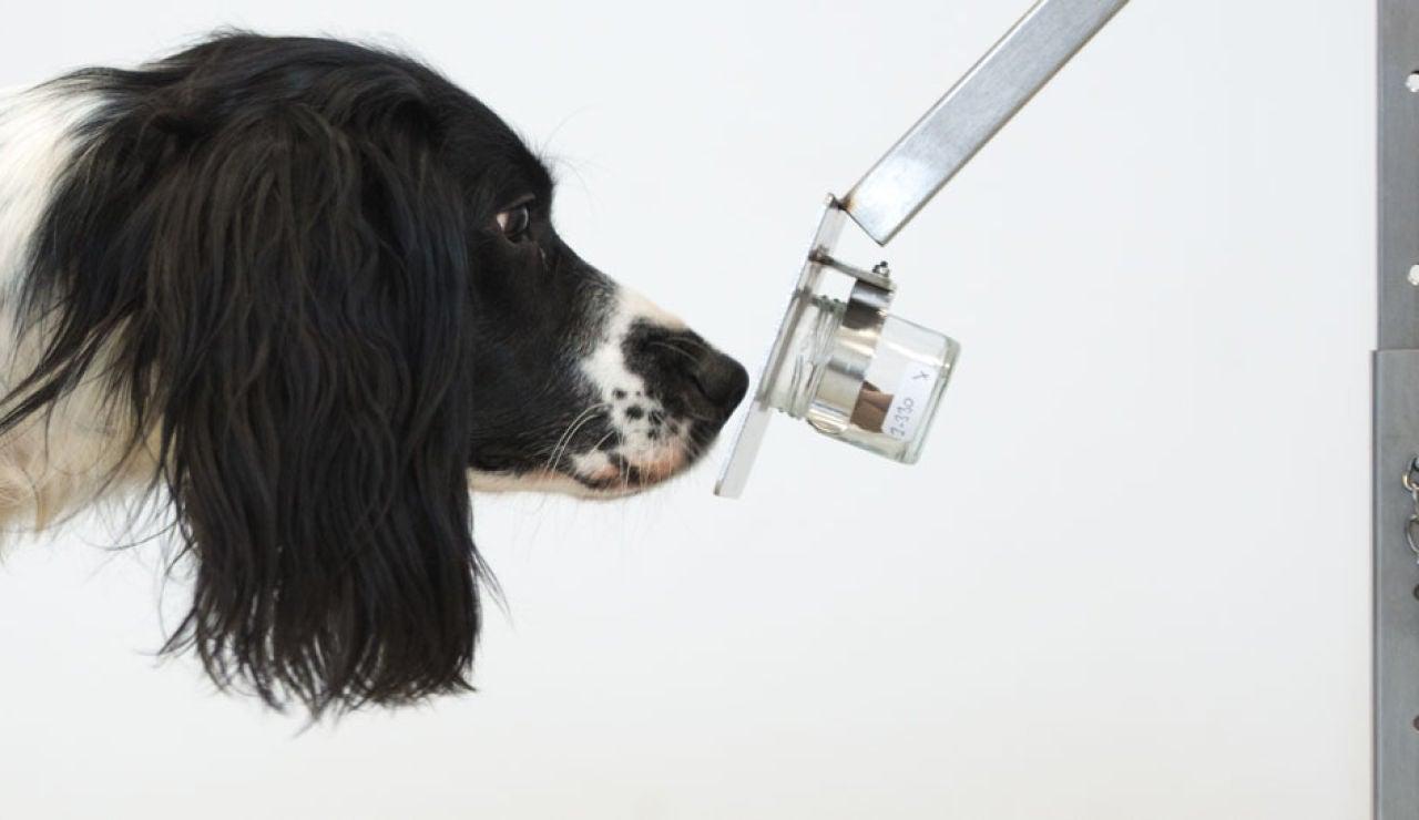 Un perro entrenado para detectar enfermedades